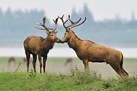 Two stags of the Père David's deer, or Milu, Elaphurus davidianus, Hubei Tian'ezhou Milu National Nature Reserve, Shishou, Hubei, China