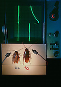 Chemical signals are very important to the insect world. An oscilloscope records a significant nervous system response by an American male cockroach to a female's phermone, and records a small response from her.