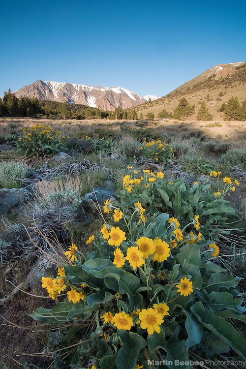 Mules ears (Wyethia mollis) in sagebrush meadow below Parker Peak in the Eastern Sierra Nevada, Inyo National Forest, California