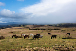 © Licensed to London News Pictures. 13/03/2021. Builth Wells, Powys, Wales, UK. Welsh mountain ponies graze on the Mynydd Epynt range in a strong cold north westerly winds near Builth Wells in Powys, Wales, UK. Photo credit: Graham M. Lawrence/LNP