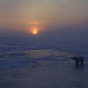 Polar Bear, (Ursus maritimus) On frozen ice of Hudson Bay. Evening. Churchill, Manitoba. Canada.