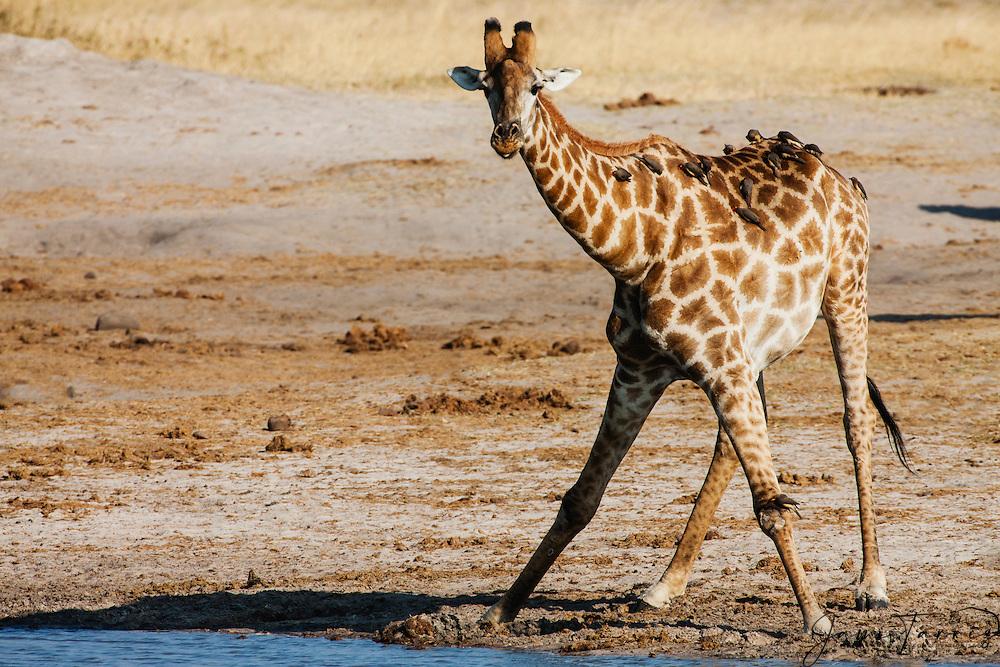 A South African giraffe (Giraffa camelopardalis giraffe) drinking from a water hole, Hwange National Park, Zimbabwe,Africa