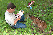 Oregon Division Of Fish And Wildlife biologist Pat Matthews collects data on a newborn elk calf in the Sled Springs Elk Study Area. The calf will be radio collared so that its movements and health may be studied.