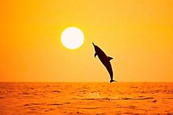 silhouette of Hawaiian spinner dolphin, Stenella longirostris longirostris, leaping at sunset, Kealakekua Bay, Big Island, Hawaii, USA, Pacific Ocean, digital composite