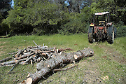 Israel, Galilee, Biria forest, Foresters working in a pine forest removing the tree trunk to a clearing with the aid of a tractor