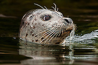 Harbor seal, Freshwater Bay, Chichagof Island, Inside Passage, Southeast Alaska USA.