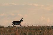 Buck Pronghorn (antelope) running in habitat