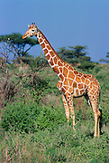 Reticulated giraffe Samburu