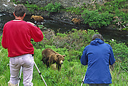 Grizzly bear (brown bear), McNeil River State Game Sanctuary, Kamishak Bay, Alaska. Endangered species. Visitors photograph bears at close range safely.