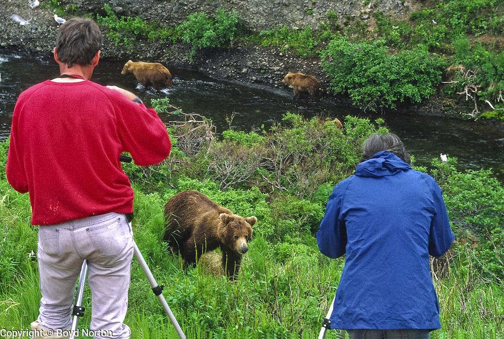 Grizzly bear (brown bear), McNeil River State Game Sanctuary, Kamishak Bay, Alaska. Endangered species. Visitors photograph bears at close range safely.