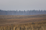Two roe deer (Capreolus capreolus) grazing scarce greens in stubble field on cloudy grey spring day, Vidzeme, Latvia Ⓒ Davis Ulands | davisulands.com