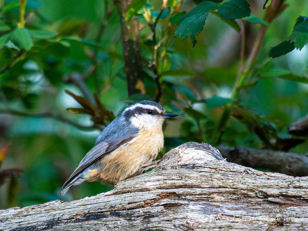 A red-breasted nuthatch at Shakespeare Garden in Central Park, April 23, 2021.