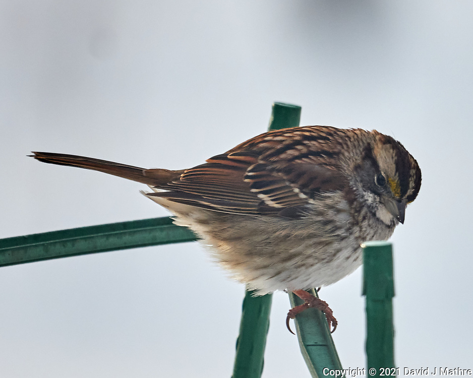 White-throated Sparrow (Zonotrichia albicollis). Image taken with a Leica CL camera and Sigma 100-400 mm lens.