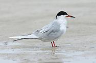 Forster's Tern - Sterna forsteri - Adult breeding