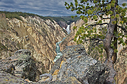 Lone pine, Grand Canyon of the Yellowstone River, Lower Yellowstone Falls, Yellowstone National Park