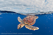 A Loggerhead Sea Turtle Juvenile, Caretta caretta, drifts in the open ocean offshore Pico Island, Azores, Portugal, North Atlantic Ocean. Image available as a premium quality aluminum print ready to hang.