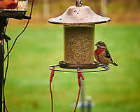 Rose-breasted Grosbeak. Image taken with a Leica SL2 camera and 90-280 mm lens