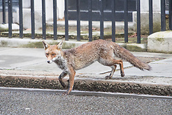 Downing Street, London, April 12th 2016. A fox wanders along Downing Street as ministers arrive for the weekly cabinet meeting. <br /> ©Paul Davey<br /> FOR LICENCING CONTACT: Paul Davey +44 (0) 7966 016 296 paul@pauldaveycreative.co.uk