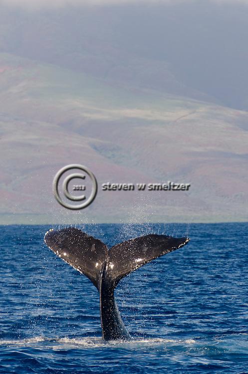 Humpback Whale, Megaptera novaeangliae, Tail Wave 7 of 8, Maui Hawaii