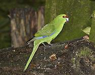 Yellow-crowned Parakeet - Cyanoramphus auriceps