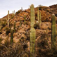 Saguaro National Park, Tucson. Saguaro landscape with a rocky hill