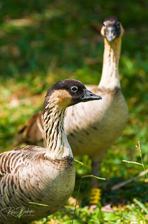 Nene birds, Hawaiian Goose (Branta sandvicensis), Island of Kauai, Hawaii