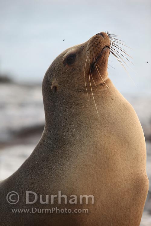 A galapagos sea lion (Zalophus californianus) on South Plaza Island, Galapagos archipelago - Ecuador.
