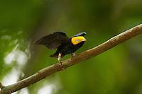 Golden-headed Manakin (Pipra erythrocephala).Adult male performs backwards dance at his display perch...Tiputini Biodiversity Station, Amazon Rain Forest, Ecuador.