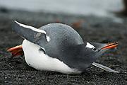 Gentoo Penguin (Pygoscelis papua), adult laying on land