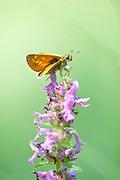 Large Skipper Butterfly, Ochlodes venatus, Poienile Narcise, Brasov, Transylvania, Romania, resting on flower, orange