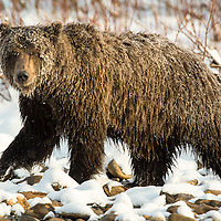 Grizzly bear walking along the shore of the Fishing Branch River at the base of Bear Cave Mountain in the Yukon Territory Canada.