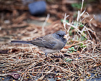 Junco. Image taken with a Nikon D5 camera and 600 mm f/4 VR lens (ISO 1600, 600 mm, f/4, 1/200 sec).