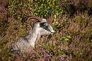 goat for open land management in the flowering Wahner Heath, Troisdorf, North Rhine-Westphalia, Germany.<br /> <br /> Ziege zur Offenlandpflege in der bluehenden Wahner Heide, Troisdorf, Nordrhein-Westfalen, Deutschland.