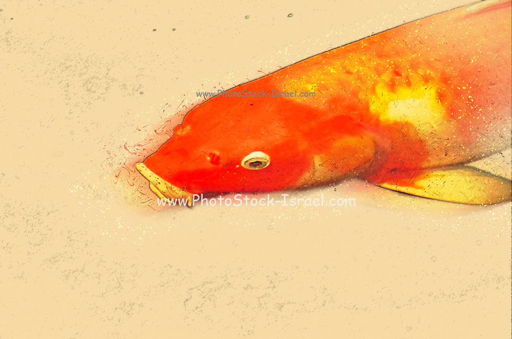 Digitally enhanced image of a large gold fish swimming in a pond