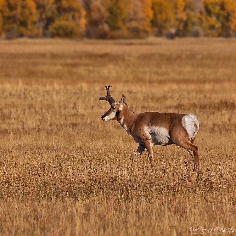 A pronghorn surveys the meadow in Grand Teton National Park