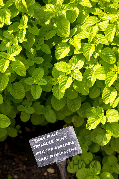 Corn Mint growing in the organic vegetable garden at Raymond Blanc's Le Manor Aux Quat' Saisons Hotel in Oxfordshire, UK