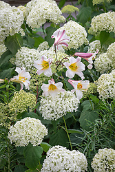 Lilium regale - Regal lily - with Hydrangea arborescens Incrediball syn.  'Abetwo' and Hydrangea paniculata 'Wim's Red'