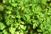 Close up selective focus photograph of a group of Chervil plant