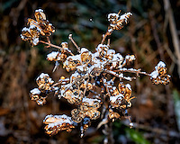 Light snow on Yucca plant seed pods -- Winter backyard nature in New Jersey. Image taken with a Nikon D3 camera and 200 mm f/4 macro lens (ISO 200, 200 mm, f/11, 1/60 sec).