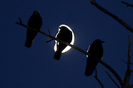 Middletown, New York - Crows perch on the branches of a tree as the moon shines in the background on  Nov. 28, 2014.