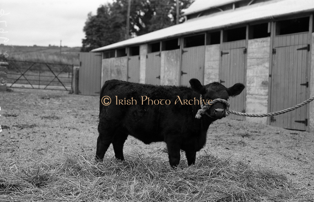 """12/08/1959<br /> 08/12/1959<br /> 12 August 1959<br /> Pedigree Bulls and Heifers for Coras Trachtala. Young Aberdeen Angus heifer calf (March) by """"Haymount Bull"""", owned by Major Alexander, Milford House, Carlow."""