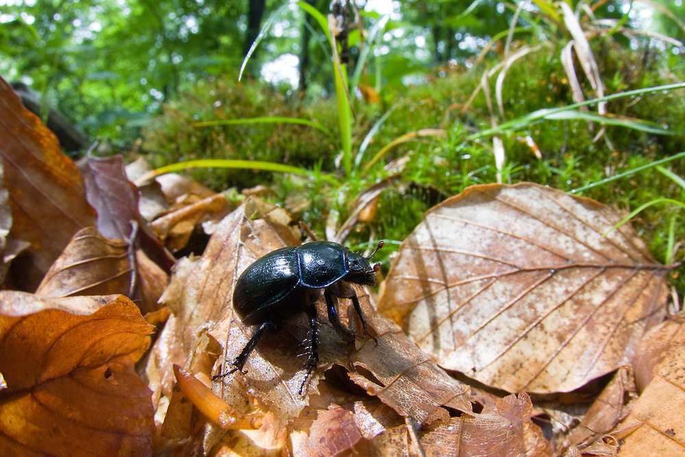 Waldmistkäfer, Geotrupes stercorosus, Buchenwald, Morske Oko Reservat, Ost-Slowakei / Dung Beetle, Geotrupes stercorosus, Beech forest, Morske Oko Reserve, East Slovakia