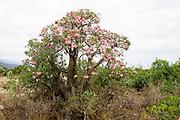 Africa, Ethiopia,Omo River Valley, Flowering Desert Rose (Adenium obesum),