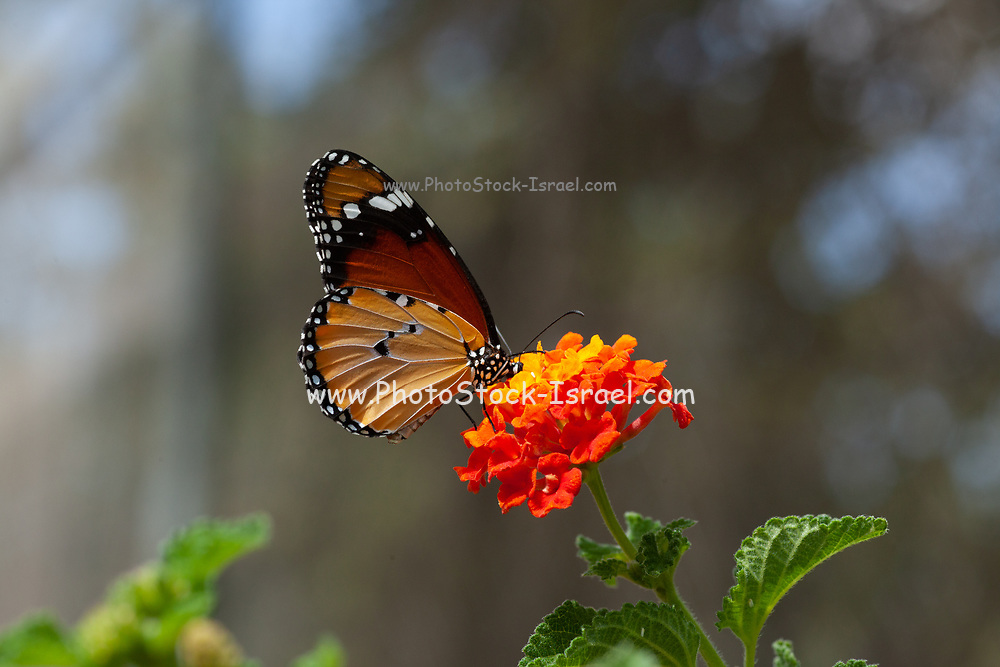 Plain Tiger (Danaus chrysippus) AKA African Monarch Butterfly on a Lantana (verbena) flower Photographed in Israel, in September
