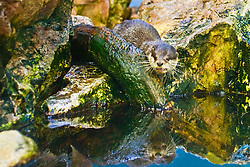 smooth-coated otter, Indian smooth-coated otter or smooth otter, Lutrogale perspicillata (formerly known as Lutra perspicillata), threatened species, captive