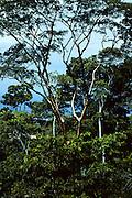 Mahogany trees on hillside near San Pedro Sula, Honduras.