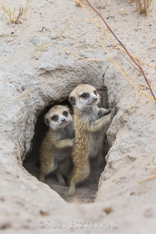 Meerkat<br /> Suricata suricatta<br /> Six-week-old pup emerging from burrow<br /> Makgadikgadi Pans, Botswana