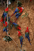Red & Green Macaws on clay Lick<br />