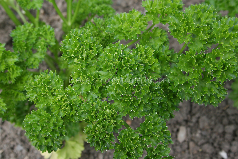Parsley herb plant, Champion Moss Curled
