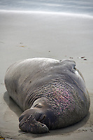 This exhausted Elephant Seal beachmaster rests after a long day defending his territory. Battle scars show on his chest.